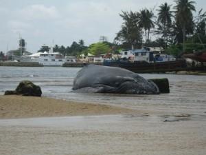 Une baleine nous a rendu visite en septembre, elle était visible depuis les salles de science.